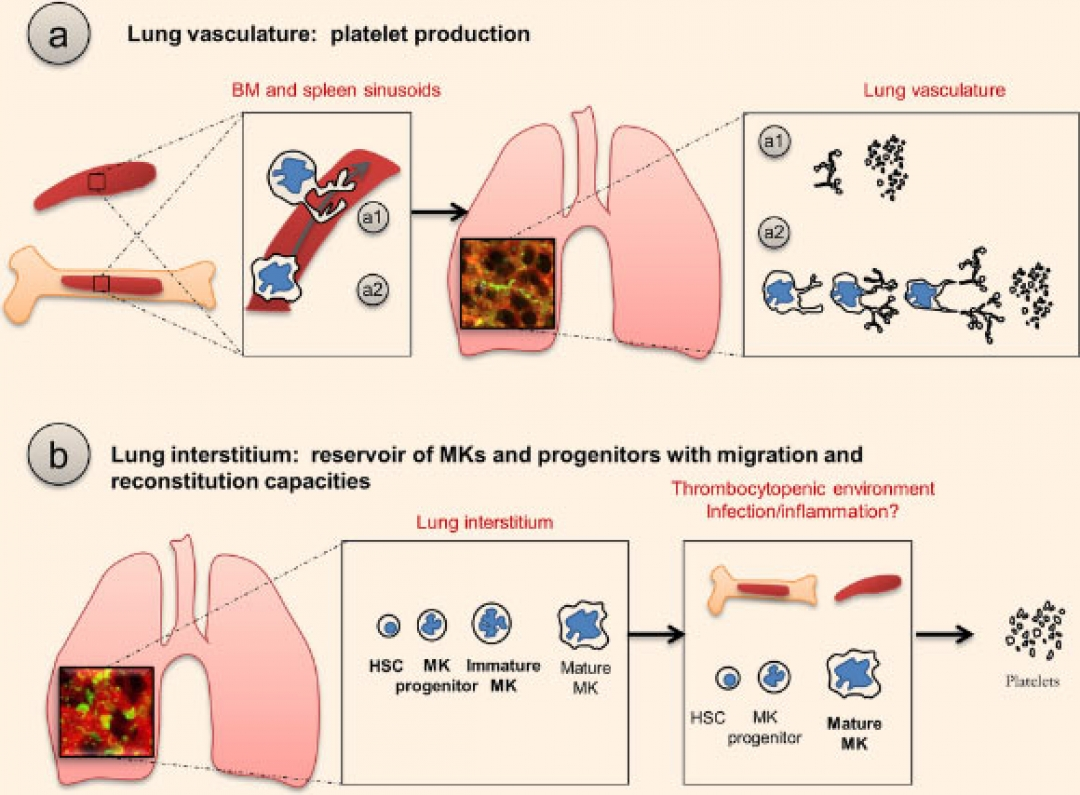 newimage_4734_2-lungs-blood-production.jpg