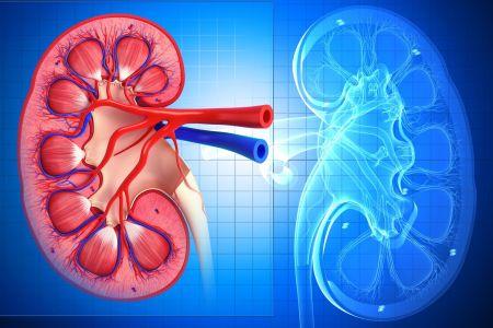 new380+kidney.jpg